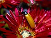 """With a name like """"blister beetle,"""" the Coleoptera family of insects don't sound like they do much for your health, but they could. U.S. researchers, in trying to find a way to battle cancer, have recently turned their attention to the blister beetle. It has long been used in traditional forms of medicine, and more recently, it has been linked to anti-cancer abilities."""