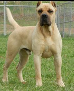 The Presa Canario- This is happening.