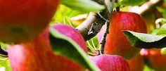 Health benefits of Washington apple