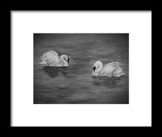 Swans Framed Print featuring the drawing Swan Couple by Faye Anastasopoulou Hope Symbol, Native American History, Swans, Frame Shop, Hanging Wire, Great Photos, Framed Art Prints, Clear Acrylic, Fine Art America