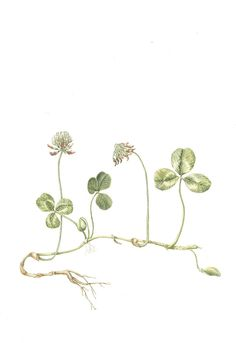 Trifolium repens, Common Name: White Clover , Artist: Chrissie Russell,