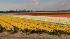 It's the best time of year to visit Holland! (Lisse South Holland)
