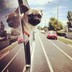 Funny pug pictures online showing pugs doing the housework including the ironing. This pug has even dressed up in dog clothing to do the ironing for their owner Funny Pug Pictures, Raza Pug, Pugs And Kisses, Baby Pugs, Cute Pugs, Funny Pugs, Pug Puppies, Puppy Care, Pug Love