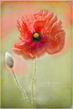 Vintage Poppy | Flickr : partage de photos !