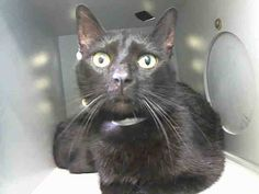 NYACC**URGENT**EXTREMELY SWEET BLACK KITTY** TO BE DESTROYED 7/27/14 Manhattan Center  My name is MIDNIGHT. My Animal ID # is A1006073. I am a female black domestic sh. The shelter thinks I am about 2 YEARS  I came in the shelter as a STRAY on 07/09/2014 from NY 10457, owner surrender reason stated was STRAY. I came in with Group/Litter#K14-185229.  https://m.facebook.com/photo.php?fbid=837021356309698&id=155925874419253&set=a.576546742357162.1073741827.155925874419253&source=43