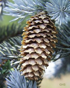 Colorado Blue Spruce (Picea pungens) was designated the official state tree of Colorado in and named also the state tree of Utah. State Of Colorado, Colorado Homes, Colorado Mountains, Rocky Mountains, Blue Spruce Tree, Spruce Pine, Conifer Cone, Picea Abies, Norway Spruce
