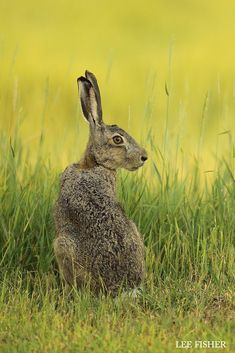 Hare by Lee Fisher
