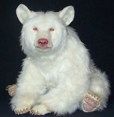 Albino black bear - Citico Ridge Bears