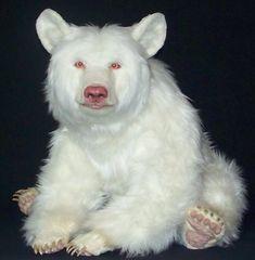 Albino black bear - Citico Ridge Bears