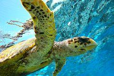 De onderwaterwereld van Fiji heeft de meest indrukwekkende fauna van de hele archipel. De warme wateren bieden een thuis aan vele dolfijnen, roggen, schildpadden en haaien.
