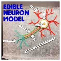 My students and I created these edible models to better visualize and identify the main parts of a neuron. Science Cells, Science Fair, Science Lessons, Science For Kids, Life Science, Elementary Science, Science Classroom, Teaching Science, Science Activities