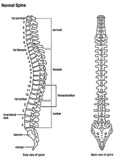 Types of Vertebrae Back Pain: Cervical, Thoracic, & Lumbar Axial Skeleton, Psoas Release, Human Spine, Nursing School Notes, Ankylosing Spondylitis, Medical Anatomy, Scoliosis, Spinal Cord, Anatomy And Physiology