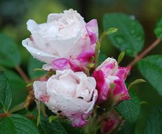 Rosa rugosa ´Louise Bugnet´