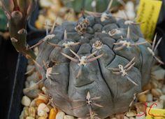 Gy. Schroederianum var. Bayense (ex.L.Bru) | da Hibisco1