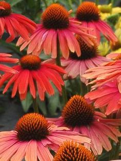 "Echinacea Mama Mia Type: Perennials Height: Medium 20-24"" (Plant 30"" apart) Bloom Time: Mid-Summer to Early Fall  Sun-Shade: Full Sun to Mostly Sunny  Zones: 5-9   Find Your Zone Soil Condition: Normal, Clay, Acidic  Flower / Accent: Red / Orange - See more at: https://www.bluestoneperennials.com/ECMM.html#sthash.rZis4DsY.dpuf"