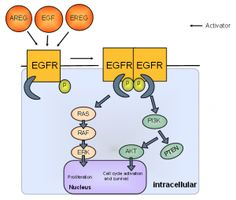 Výsledek obrázku pro egf mechanism