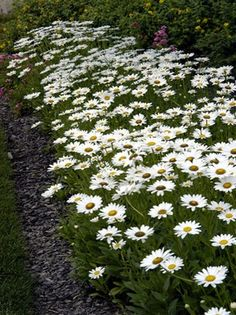 shasta daisy. spring thru late summer; hearty flower, full sun or partial, good in the heat, perinial; attracts butterflies (follow link for planting directions; late spring)