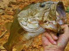 Dirty Largemouth Bass