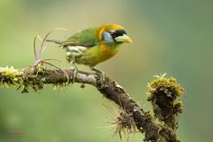 Red-headed barbet (Eubucco bourcierii) female perched on a branch by Chris Jimenez on 500px