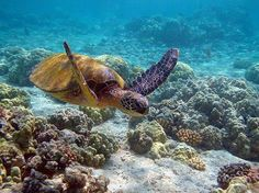 Seven Natural Wonders of the World Turtle at Underwater Great Barrier Reef – Bobz World City Great Barrier Reef, Nautilus, Sea Turtle Nest, Sea Turtles, World Turtle, Costa, Underwater World, Fauna, Ocean Life