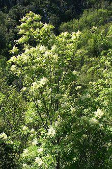 Fraxinus ornus - Wikipedia, the free encyclopedia
