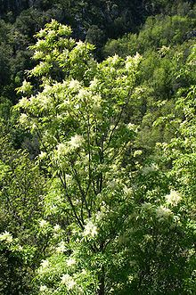 Fraxinus ornus (manna ash[1] or South European flowering ash) is a species of Fraxinus native to southern Europe and southwestern Asia, from Spain and Italy north to Austria, Poland and the Czech Republic, and east through the Balkans, Turkey, and western Syria to Lebanon and Armenia.