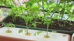 hydroponicsinfo@wiki - What do Los Angeles Hydroponics Have to Do with a Martian's Omelet? 25