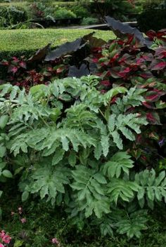 Honey bush (Melianthus major, USDA Hardiness Zones 8-11), 'Magilla' perilla (Perilla 'Magilla', annual), and a dark elephant ear (Colocasia esculenta cv., Zones 8-11).
