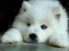 World's Cutest Puppy by wind-blown-wolf #white #alaskan malamute #wolf hybrid