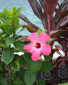 Beautiful pink hibiscus flower! Myrtle Beach, South Carolina - Coastal Living lovers