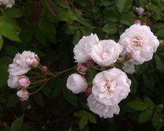 rosa blush noisette rose