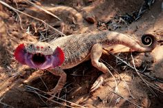 Well, this animal is one of the freakiest-looking creatures. Phrynocephalus mystaceus is endemic to Iran, Afghanistan and Kazakhstan. This species of amid lizard could reach up to 24 centimeters in length. Lizard Types, Lizard Species, Pet Lizards, Small Lizards, Beautiful Snakes, Secret Life Of Pets, All Nature, Weird Creatures, Reptiles And Amphibians