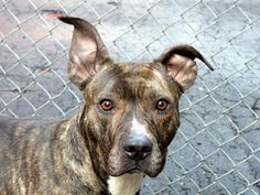 SAFE! -WED 2/5/14Manhattan Ctr RONNIE A0990502 female br brindle & wht pit mix 3YRS STRAY 1/27/14 Ronnie is a cautious pup who has probably seen more heartache & hurt than she should ever know. Learning to trust again w/ the patient loving care of a few workers & volunteers. Likely house trained, hand shy, alert. Seemed genuinely happy to greet some children on a walk. This beautiful girl has such potential! Please help her find a safe home to regain her trust & be the pup she could be!