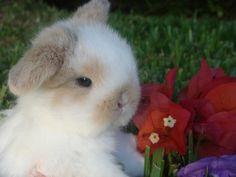 holland lop bunnies - Google Search