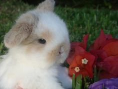 holland lop bunnies - Google Search