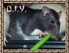 Simple and super cheap DIY rat accessories and toys! Pet Rodents, Chinchillas, Pet Rats, Diy Rat Toys, Rat Cage Accessories, Rat Care, Rat Hammock, Rat House, Fancy Rat