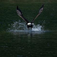 Bald Eagle going for a fish dinner!!