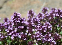 Creeping thyme is a fragrant—& edible—perennial ground cover needs little more than warm weather & the occasional watering. Its tiny white flowers lure butterflies to the yard. Perennial Ground Cover, Ground Cover Plants, Low Maintenance Landscaping, Low Maintenance Garden, Easy Garden, Lawn And Garden, Garden Hoe, Garden Tips, Dream Garden