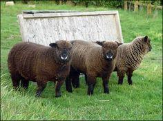 chocolate ryeland sheep - Google Search
