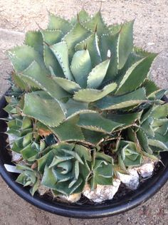 How To Use Succulent Landscape Design For Your Home Succulents In Containers, Cacti And Succulents, Planting Succulents, Planting Flowers, Pool Plants, Air Plants, Cactus Plants, Agaves, Agave Plant