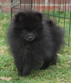 this one looks just like my pomeranian, only he has white front patch & white paws w/ black spots on them