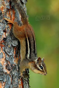 Chipmunks have four toes on their forefeet and five on their hind feet. Very agile animals, recorded at speeds of km/h mph) Woodland Creatures, Woodland Animals, Beautiful Creatures, Animals Beautiful, Animals And Pets, Cute Animals, Little Critter, Forest Friends, All Gods Creatures