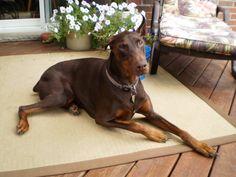 #doberman #dog #cutest- looks a bit like  old dobie