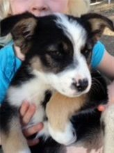 This adorable litter is well socialized, good with dogs and kids. /they are spayed, vaccinated, micro chipped, dewormed and flea free. Please email mcwhip@aol.com or jenin603@gmail.com and let us know what type of home you can provide these little...