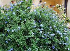 blue plumbago - Bing Images