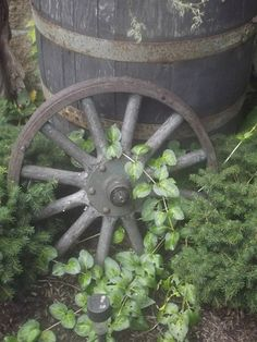 Old wheel and vine
