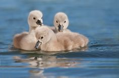 Cygnets (photo credit: Stefano Ronchi)