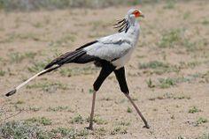 The Secretarybird, endemic to Africa, has an eagle-like body on crane-like legs.