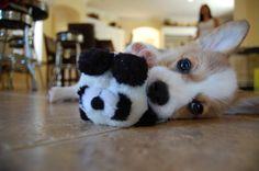 What an #adorable #welshcorgi :D My favorite dog!