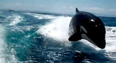 Orcas Chase Speeding Boat